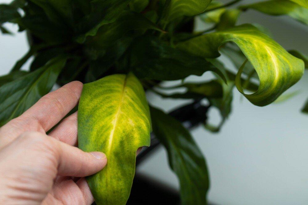 Сохнут листья у спатифиллума: что провоцирует проблему, и как спасти «женское счастье»?