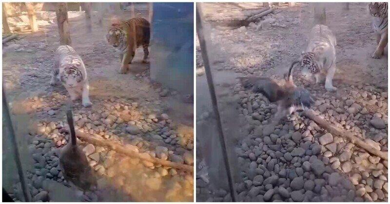Отмороженный гусь против тигра