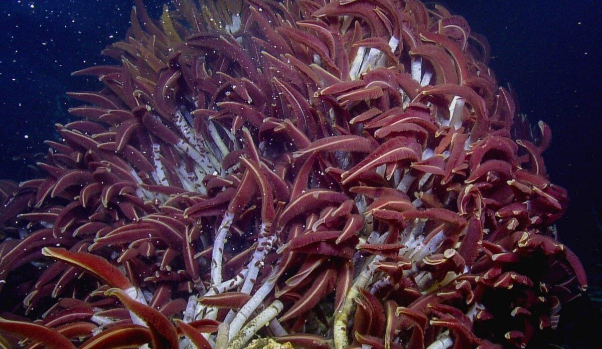 Вестиментиферы: Лес из гигантских червей на глубине 2,5 км у подножия ядовитых черных курильщиков