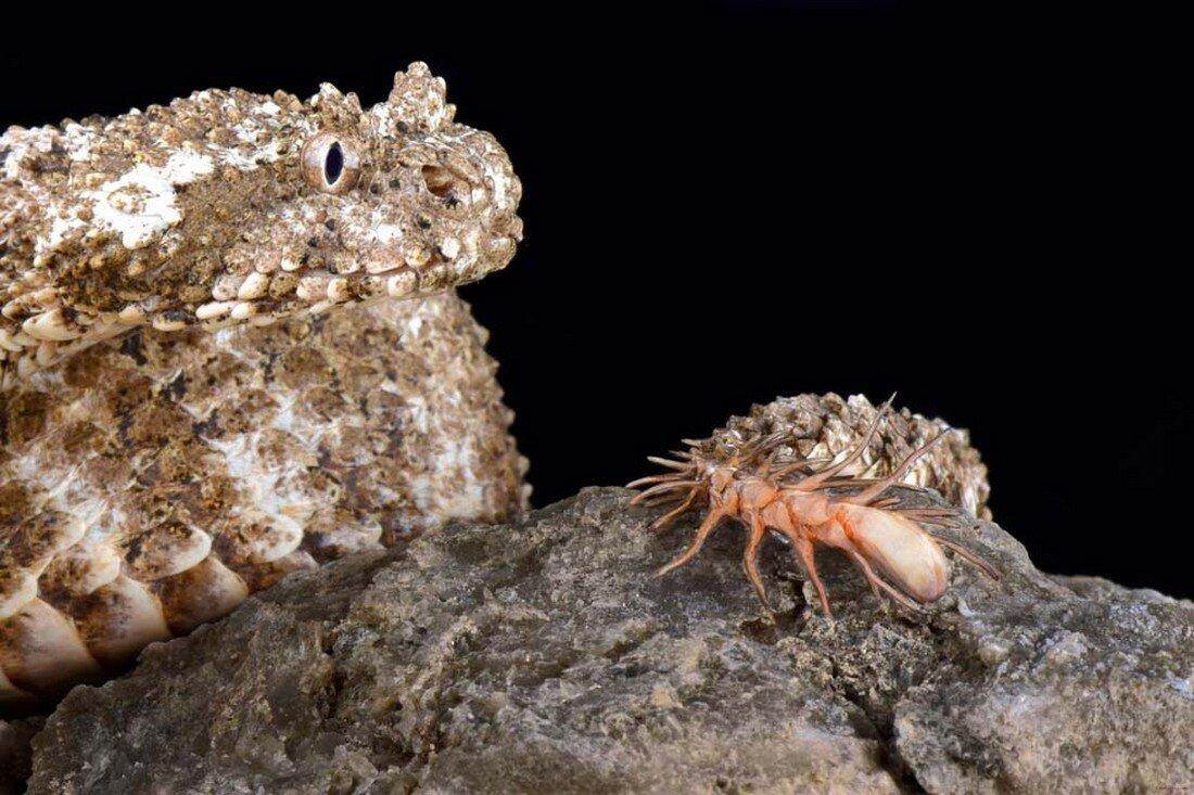 Паукохвостая гадюка: Змея с хвостом в виде «живого» паука. Потрясающий обман для ловли птиц