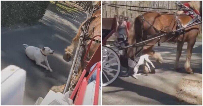 Питбуль набросился на лошадь в парке и получил отпор