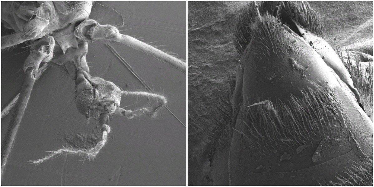 Обычные насекомые под необычным ракурсом на электронном микроскопе