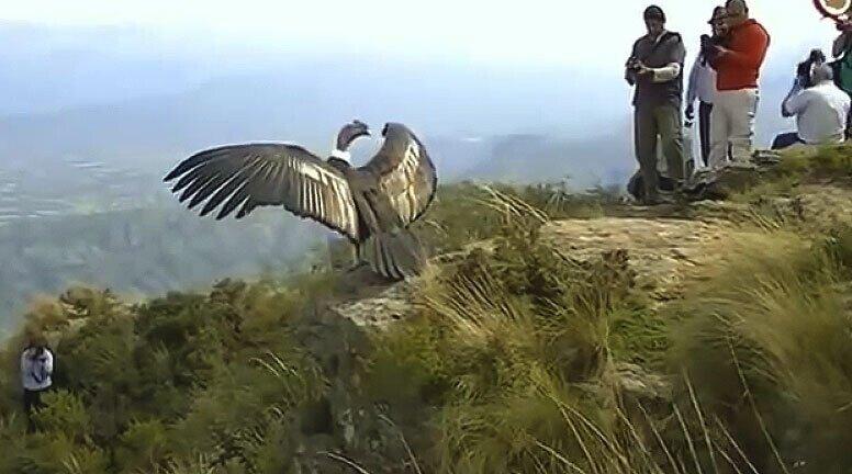 Победил страх свободы! Возвращение на свободу кондора, который долго жил в зоопарке