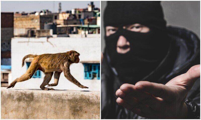 В Индии преступники обучали обезьян воровать деньги