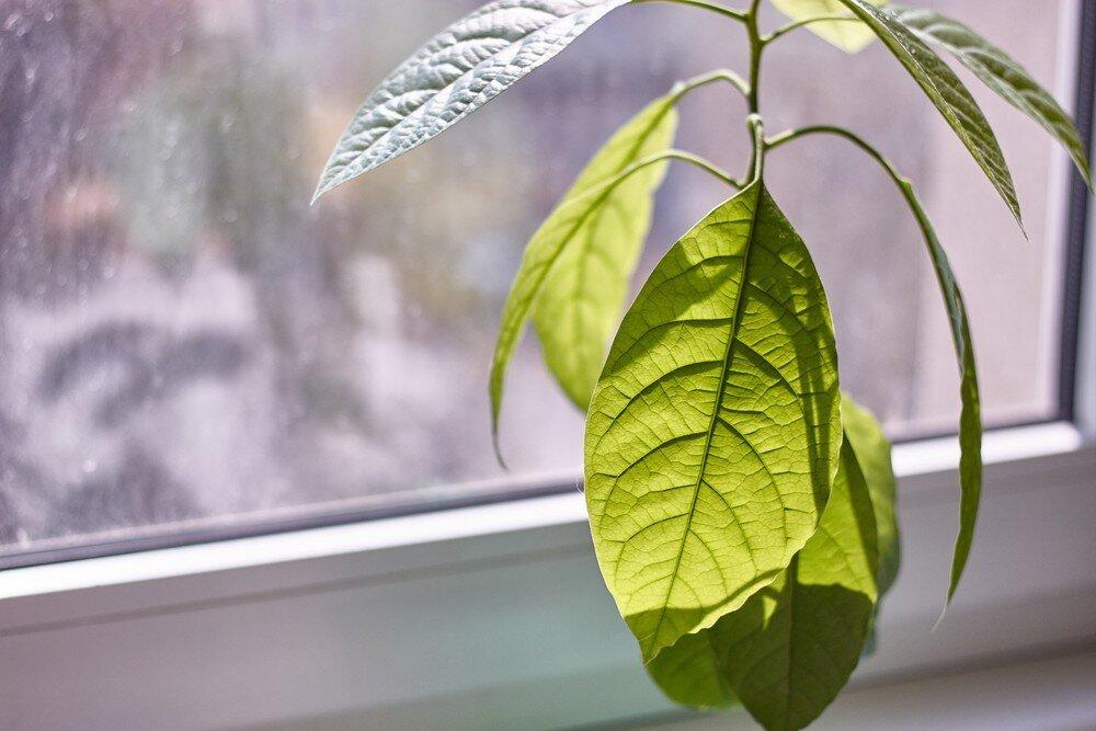 Сохнут листья у авокадо: скорая помощь тропическому растению