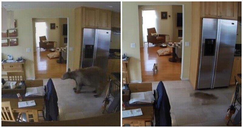 Смелые маленькие собаки прогнали забравшегося в дом хозяев медведя
