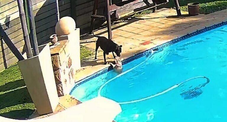 Стаффордширский терьер спас шпица от утопления в бассейне