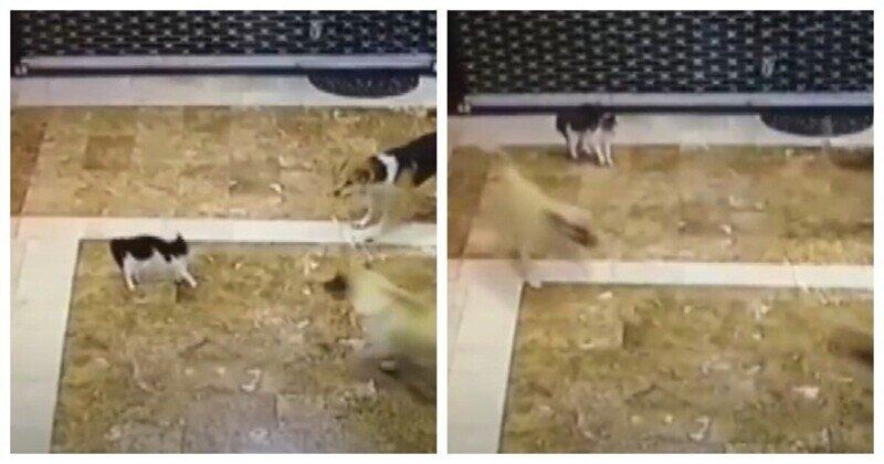 Мать-кошка против трёх собак