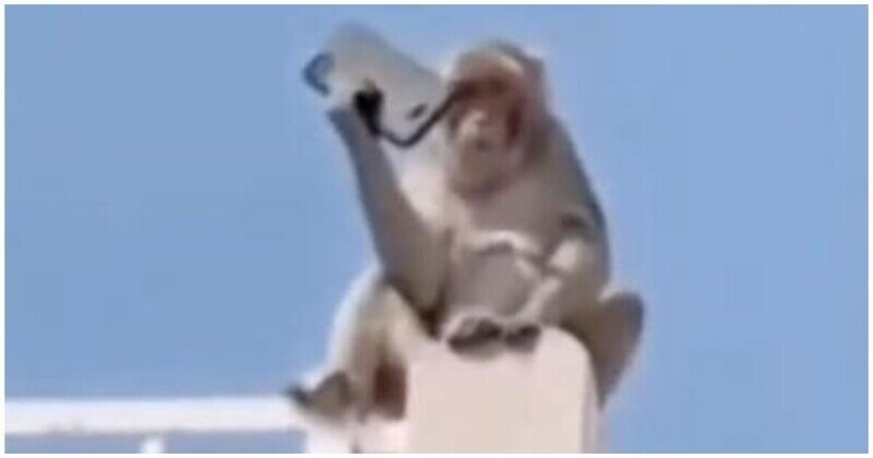 Обезьяна стащила смартфон и залезла на крышу