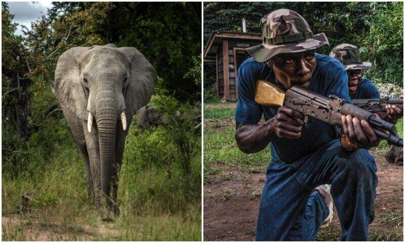 Карма в деле: в ЮАР слон затоптал браконьера
