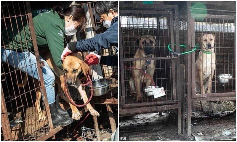 В Корее продолжают закрывать собачьи мясные фермы
