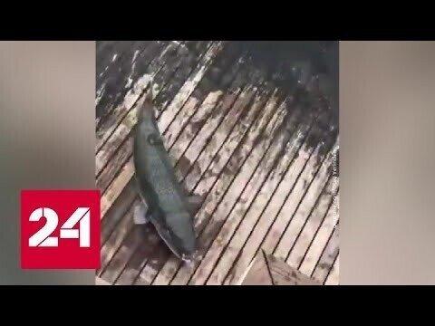 У берегов Турции – нашествие смертельно ядовитых рыб Фугу