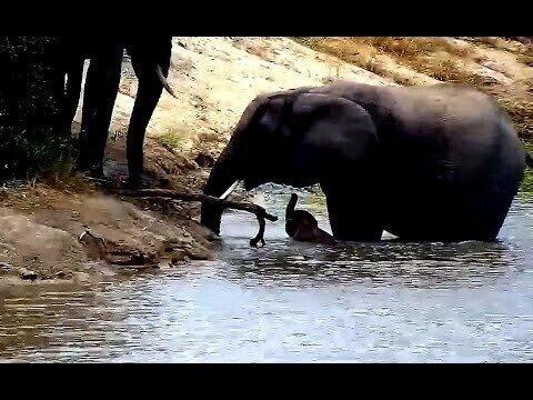 WildLife Слоненок упал в пруд и не мог выбраться