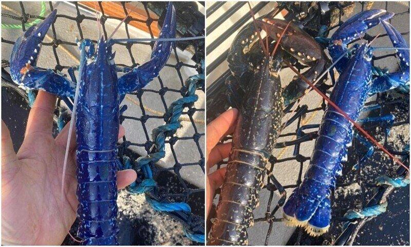 Британский рыбак поймал редчайшего синего омара