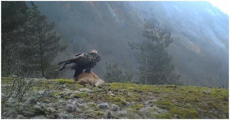 Орел взлетел вместе с тушкой лисы