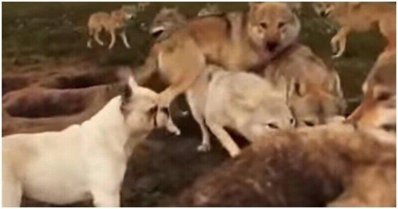 С волками жить, по-волчьи выть