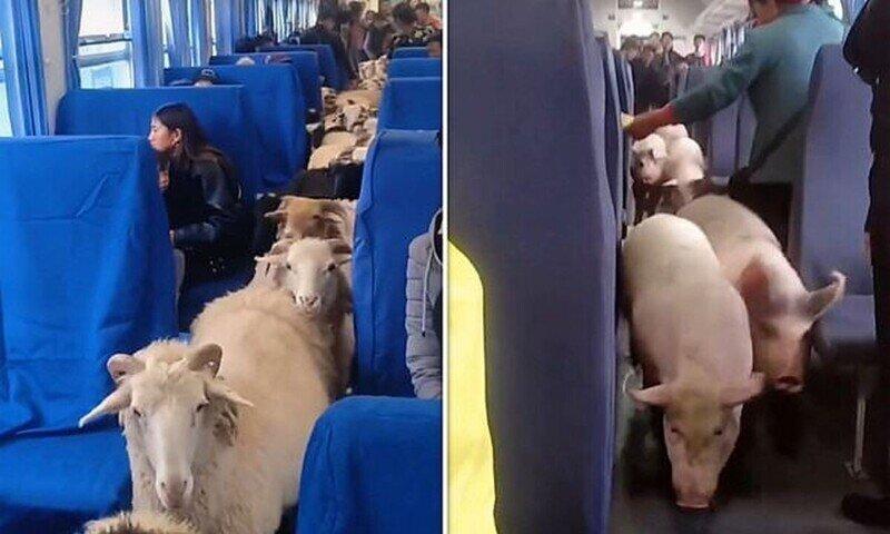 В Китае фермеры перевозят овец и свиней в пассажирских поездах