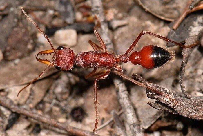 Самый опасный муравей в мире