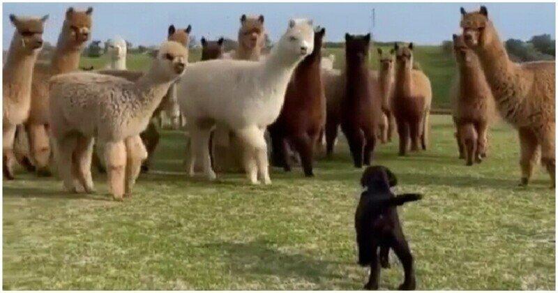 Забавная реакция альпак на щенка