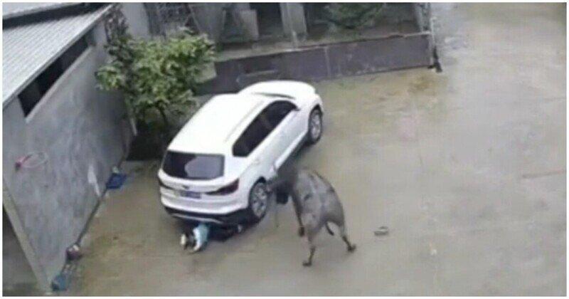 Нападение быка на китайского школьника