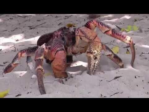 Кокосовый краб - пальмовый вор