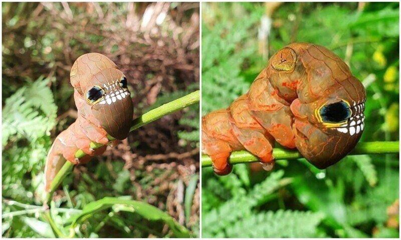 Природа сотворила: жутковатое насекомое из Австралии