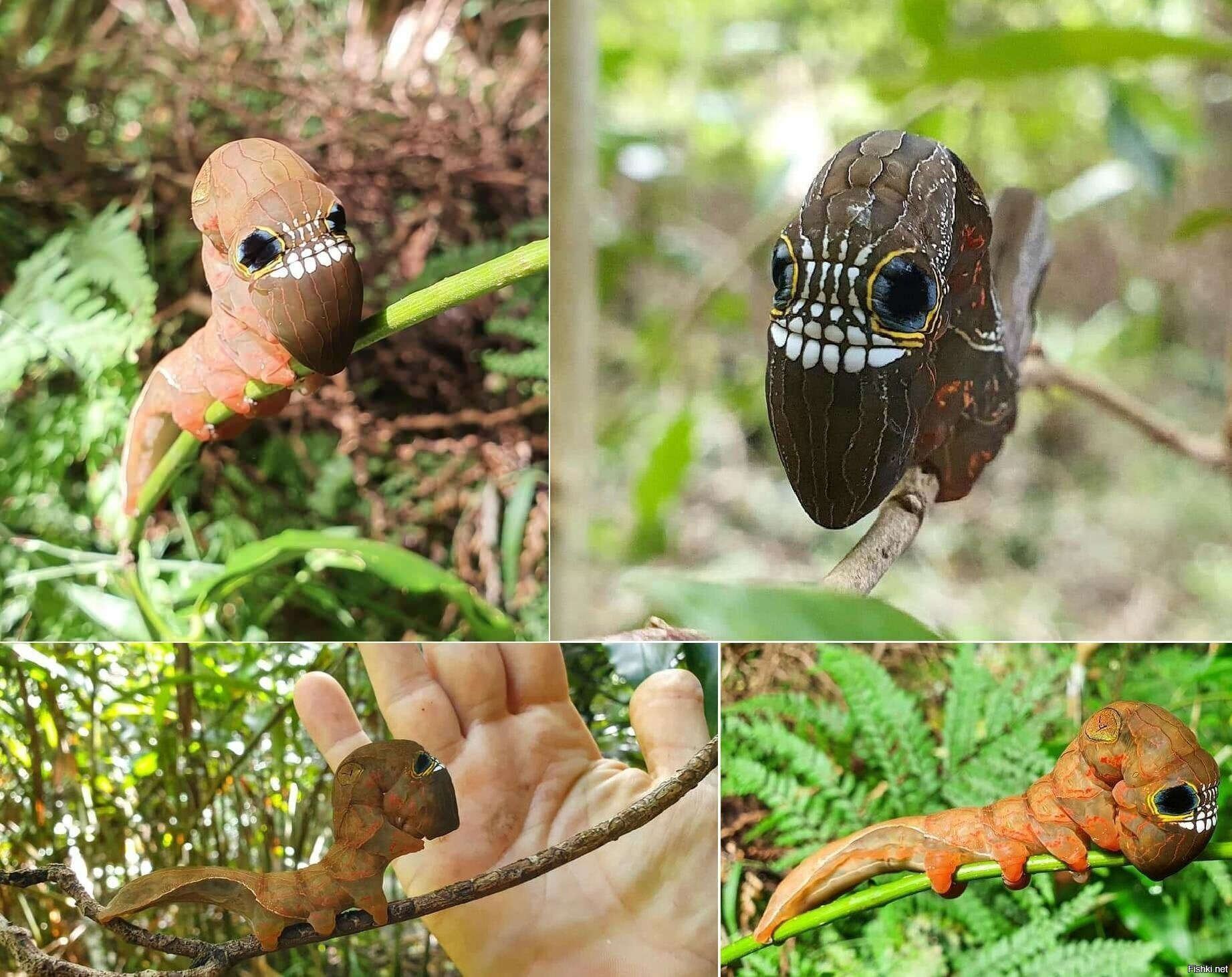 Гусеница бабочки Phyllodes imperialis