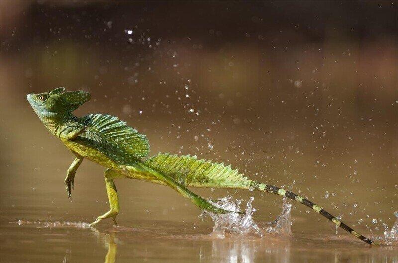 Василиск, животные Центральной Америки