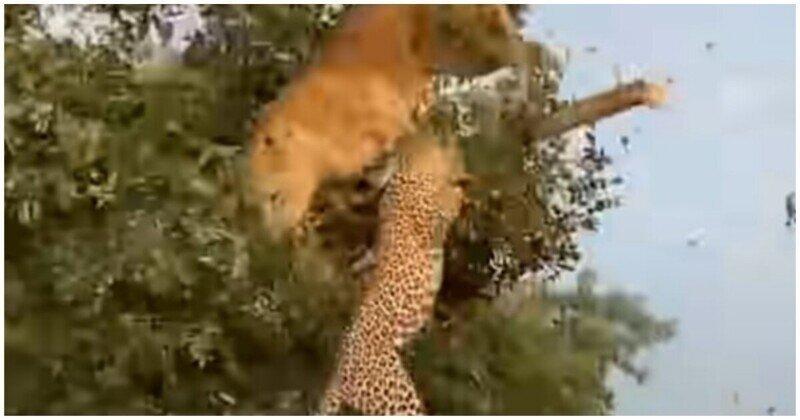 Львица и леопард не поделили добычу и упали с дерева