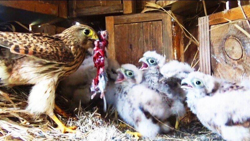 Пустельга кормит птенцов