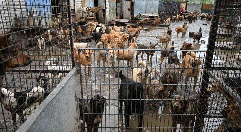 """В российском городе """"зоо-Робин Гуд""""помог выбраться наволю 500бездомным псам"""