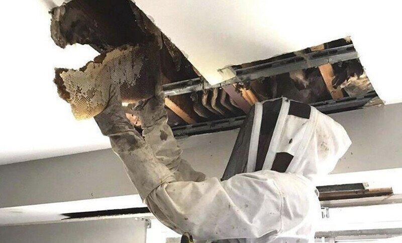 Жители Австралии нашли в потолке целый «улей»
