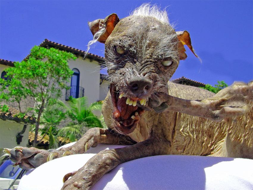 Китайская хохлатая: Самая некрасивая в мире порода собак. В этом виноват «ген мертвеца»