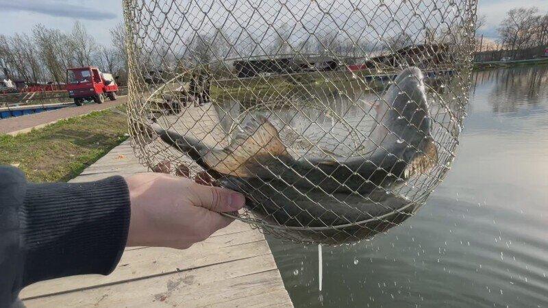 На рыбалке форель выдергивает удочки / Клюет почти на всё