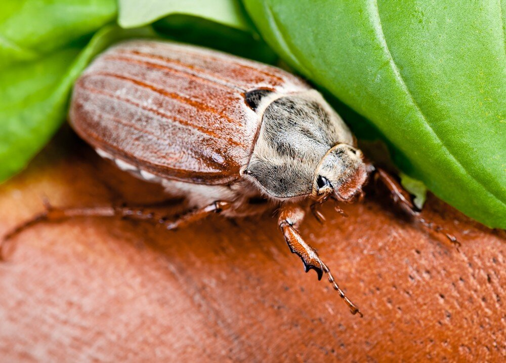 Такой майский жук: умилительный, удивительный и вредный