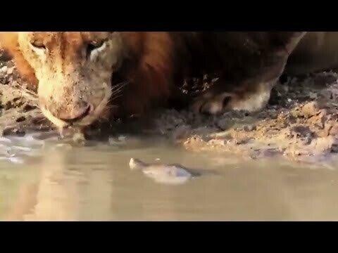 Лев и черепаха