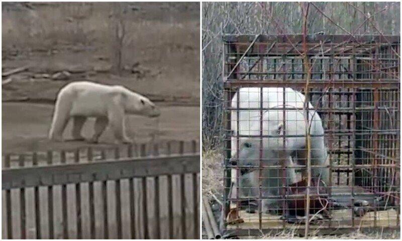 В Якутии наконец поймали белого медведя, который забрел в поселок