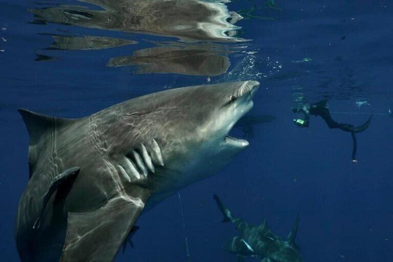 Впечатляющие кадры встречи громадной серой бычьей акулы с фридайвером