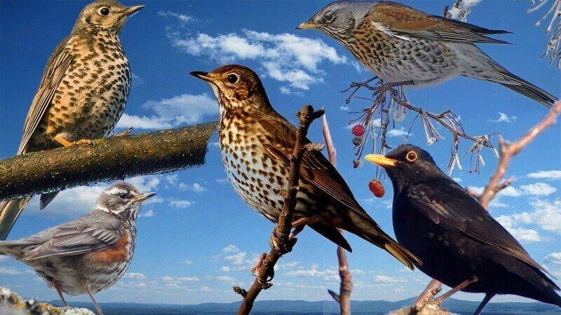 Весенние голоса дроздов (5 видов)