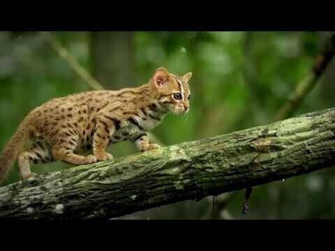 Ржавый кот