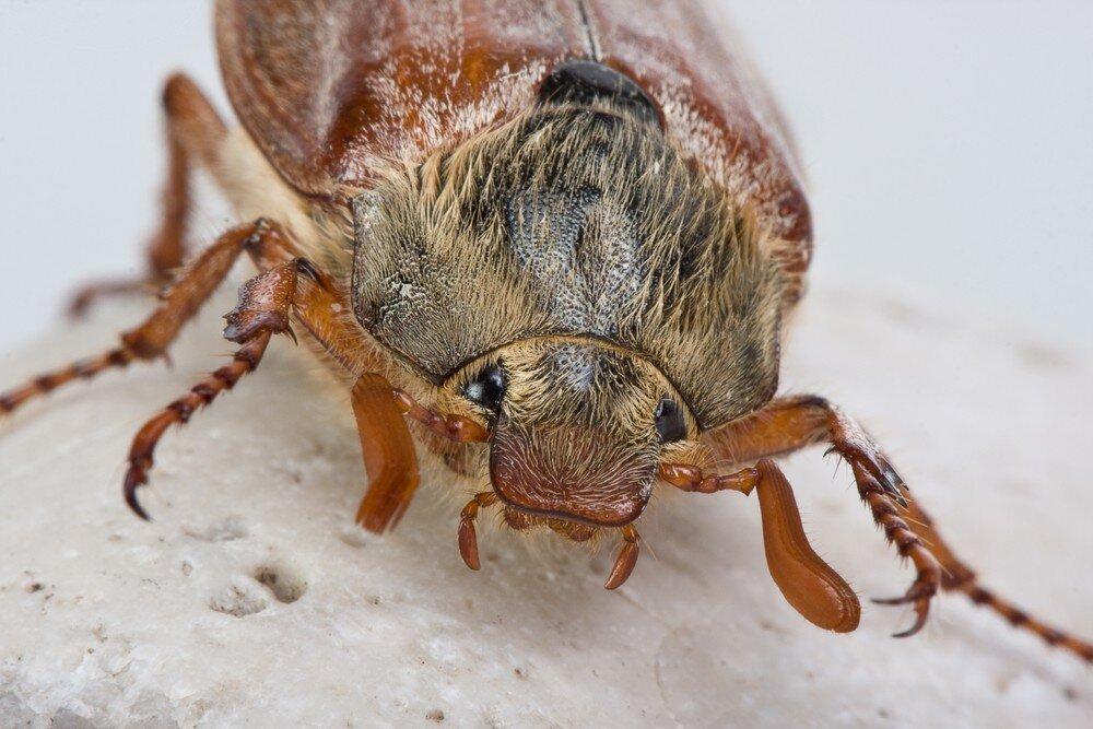 Без него весна – не весна: главное насекомое мая