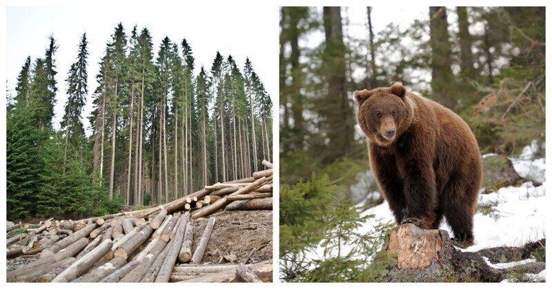 В Томской области медведь задрал мужчину, занимавшегося вырубкой леса