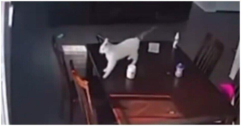 Накрыло: покушение кота на жизнь собаки