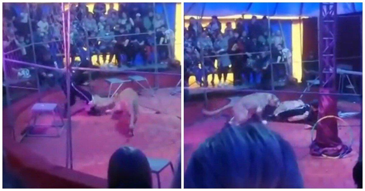 Львица напала на дрессировщика в новосибирском цирке