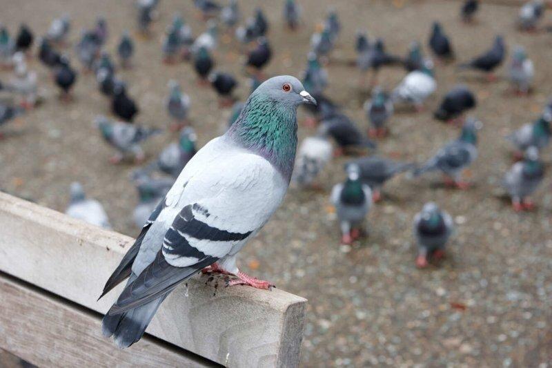 Что вы могли не знать о голубях