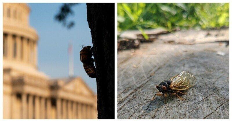 В США началось массовое нашествие цикад