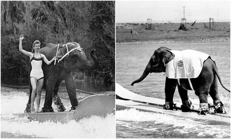Слониха на водных лыжах - знаменитость 50-х
