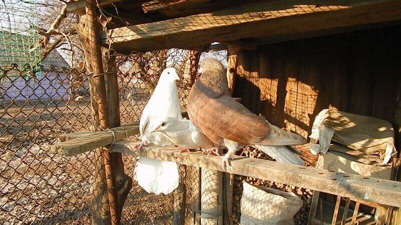 Два голубя ухаживают за одной голубкой