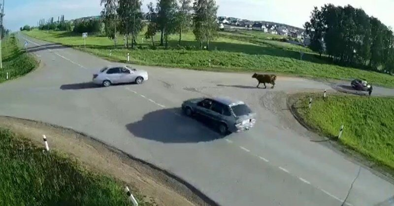 Авария дня. Корова в шоке