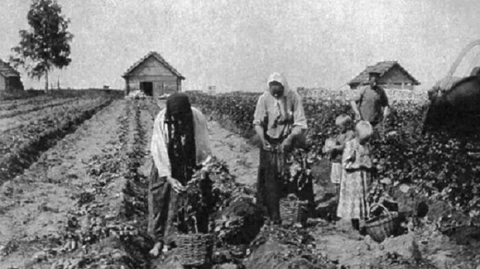 Что русские раньше выращивали на огороде до картошки